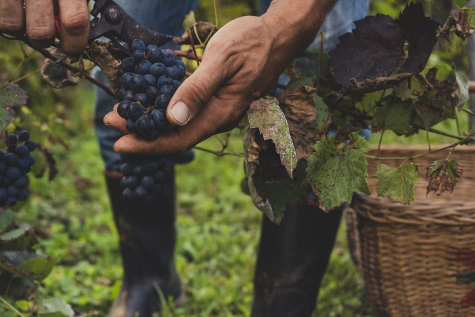 red wine grapes being hand harvested
